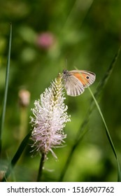 macro of a small heath butterfly (coenonympha pamphilus) on hoary plantain (plantago media) blossom in alpine meadow with blurred bokeh background