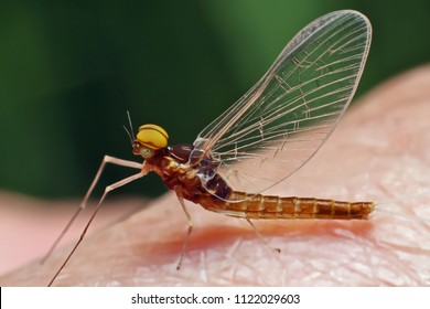 Macro of a small  mayfly resting on hand.