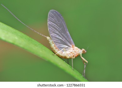 Macro of a small  mayfly resting on a blade of grass.