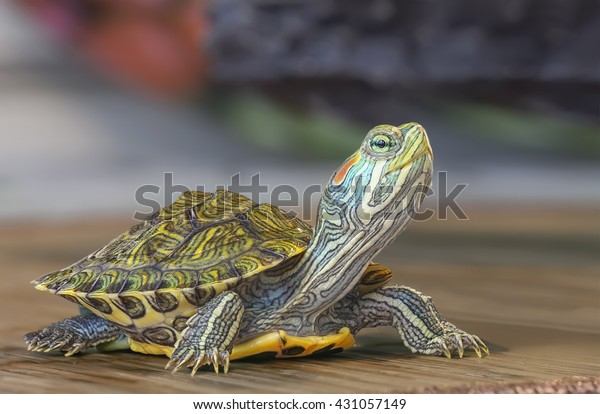 Macro of a small red-eared turtle