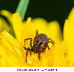 Macro of  small spider sitting on a dandelion.