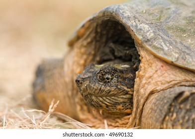 macro of snapping turtle pulling into his shell