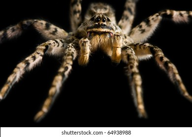 Macro of spider tarantula isolated on black