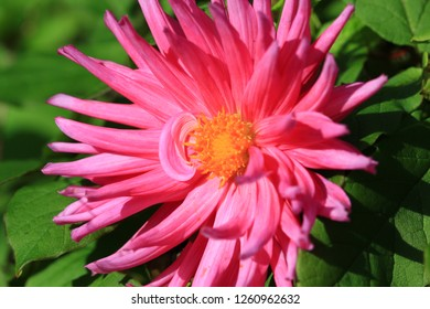 Royalty Free Spiky Pink Flower Stock Images Photos Vectors