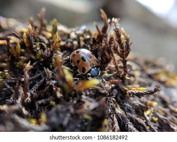 Macro of Spotted Ladybird on a mossy rock