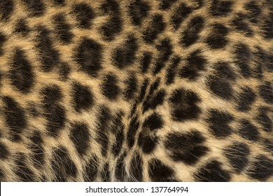 Macro of a Spotted Leopard cub's fur - Panthera pardus, 7 weeks old