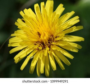 macro stages of a dandylion