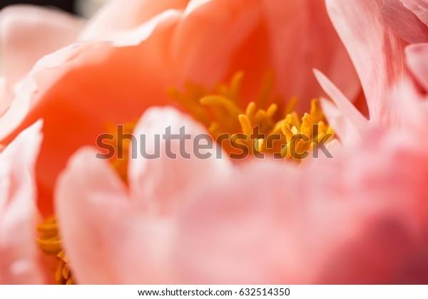 Macro still of a peony flower in bloom