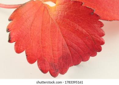 macro-strawberry-leaf-autumn-isolated-26
