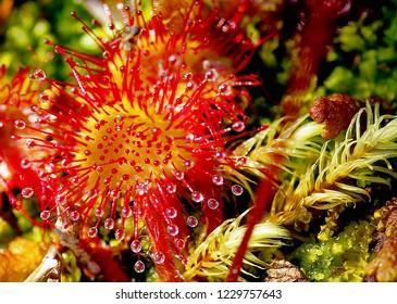 Macro of Sundew (Drosera Rotundifolia) insectivorous sticky plant