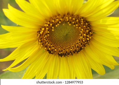 Macro Sunflower is Big yellow flower in the field at Khao Jeen Lae Sunflower Feild Lopburi Thailand