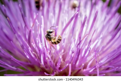 Macro of a Sweat Bee (Halictidae) Collecting Pollen in a Bright Purple Thistle