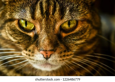 Macro of a tabby domestic cat looking grumpy