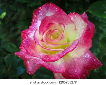 Macro of a tender rose Double Delight. Red petals are covered with raindrops or morning dew. Daylight. Nature concept for design