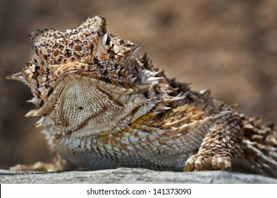 A macro of a Texas Horned Lizard (Phrynosoma cornutum) basking int he sun in Arizona, USA. This species is known to squirt blood from its eyes in defence to scare off predators.