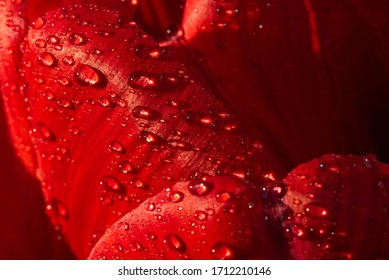 Macro texture backgroud. A large beautiful red bright tulip. Close-up of the beauty of opened buds, stamens covered with drops of water.