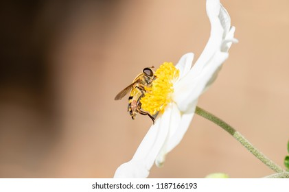 Macro of A Tiny Hoverfly (Helophilus fasciatus) Collecting Pollen from a Columbine Flower (Aquilegia) in Early Fall in Colorado