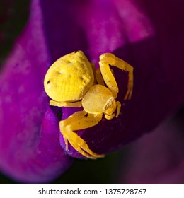 macro of a tiny yellow flower crab spider patiently waiting for an insect to come to the sweet pea flower in a garden setting