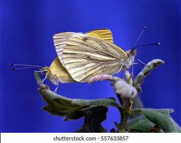 Macro. Two beautiful butterflies on green leaves on blue blurred background. Close-up of yellow  butterflies gentle sitting on the fresh leaves
