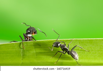 Macro of two black ants on grass blade over green background