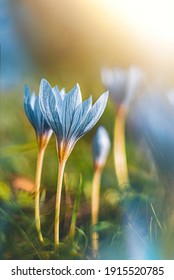 Macro of two blue autumn crocuses (Colchicum autumnale) on a green sunny background. Sun shining in the frame. Shallow depth of field with blurred elements