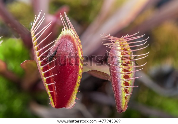 Macro of two  insectivorous venus fly trap (Dionaea muscipula)  one tightly closed and one open