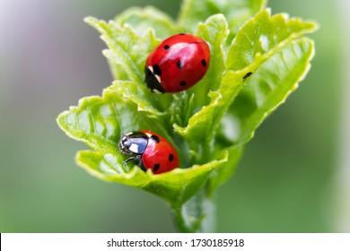 Macro of two ladybugs on the leaves
