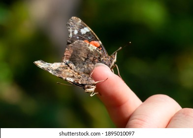 Macro of two red admiral butterflies sitting on a finger.