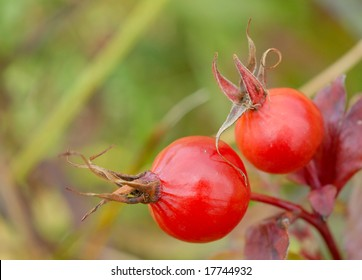"Macro of two red rose-hips ""Rosa Aff. Rubiginosa"" in the wild. Room for text in upper left hand corner."