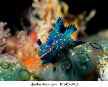 Macro Underwater blue green dot orange Nudibranch in anilao sea philippines