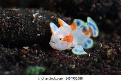 Macro underwater world - Warty Frogfish - Antennarius maculatus (juvenile).  Diving and super macro photography. Tulamben, Bali, Indonesia.
