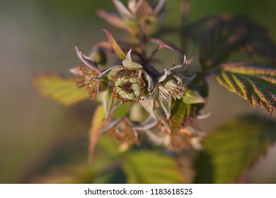 Macro of  an unripe green raspberry on rust and green fall foliage