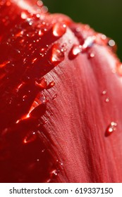 Macro of the upper rim of a petal of a blasting red tulip flower head gemmed with glistening water drops