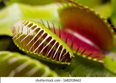 Macro of a Venus flytrap plant