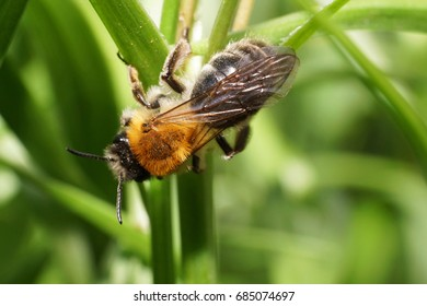 Macro view from above of a fluffy striped and brown bee Andrena on a yellow flower of a wild onion plant in early spring