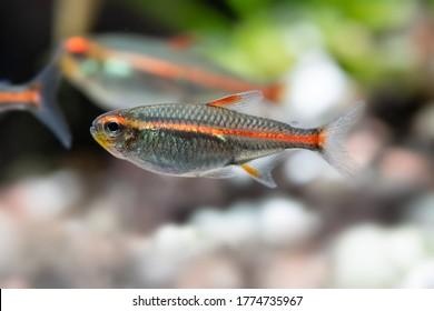 Macro view aquarium fish Glowlight tetra or Hemigrammus erythrozonus. Shallow depth of field