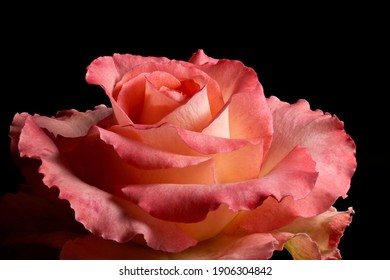 Macro view of the blooming garden rose on black background. Full depth of field