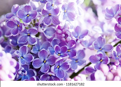 Macro view blossoming Syringa lilac bush. Springtime landscape with bunch of violet flowers. lilacs blooming plants background. soft focus photo.
