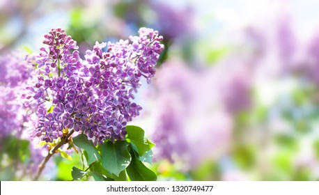 Macro view blossoming Syringa lilac bush. Springtime landscape with bunch of violet flowers. lilacs blooming plants background. soft focus photo. copy space.