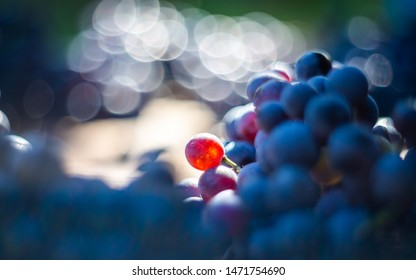 Macro view of blue vine grapes on wine barrel. Grapes for making ice wine. Detailed view of a Cabernet Franc grape vines in a vineyard in autumn.