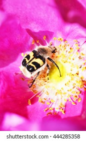 A macro view of a bug in the center of a bright pink wild rose flower