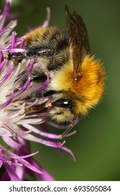 Macro view of a Caucasian fluffy field bumblebee Bombus pascuorum seated on a purple flower cornflower