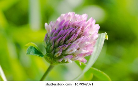 Macro view of the clover. Blossom