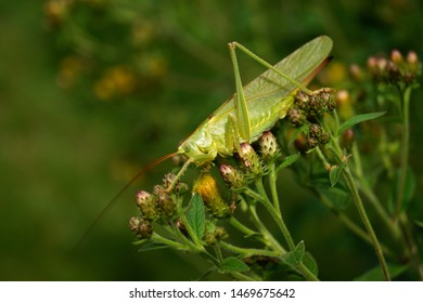Macro view of Female Nymph of a great green bush cricket sitting on a flower. long horned grasshoppers insect Tettigonia viridissima. large species of katydid or bush-cricket. Scientific Tettigoniidae