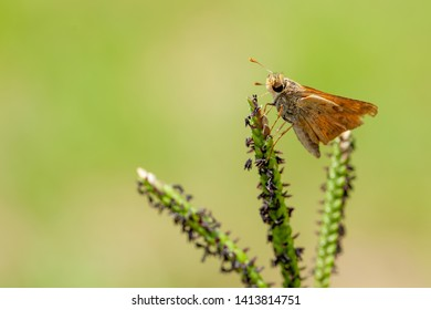 Macro view of fiery grass skipper against blurred green background