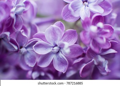 macro view of flower lilac. A beautiful bunch of lilac closeup. Bush Bloom. flowers in the garden. Soft selective focus. Ultra Violet color of the year 2018