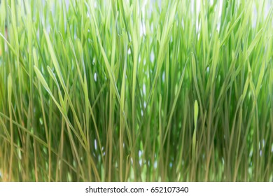Macro view of fresh and young green wheat grass, natural texture concept.
