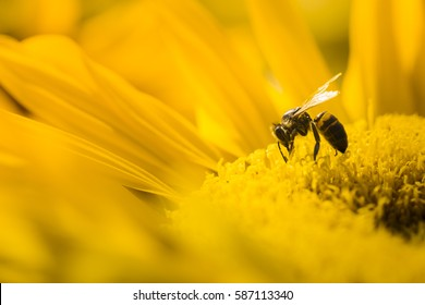 Macro view of honeybee pollinating sunflower seeds