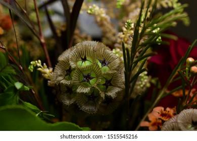 Macro view of an interesting scabiosa stellata (starflower pincushions) flower in an autumn indoor flower arrangement
