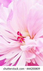 A macro view of a light pink peony flower